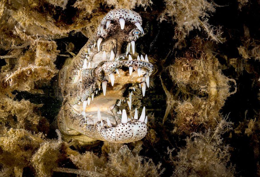 Um die Spiegelung des Spitzkrokodils in den Gärten der Königin in Kuba einzufangen, näherte sich Gross ...
