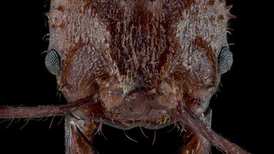 Die pilzzüchtende Ameise Acromyrmex echinatior ist von einem Biomineral überzogen, das ihr als Panzerung dient.