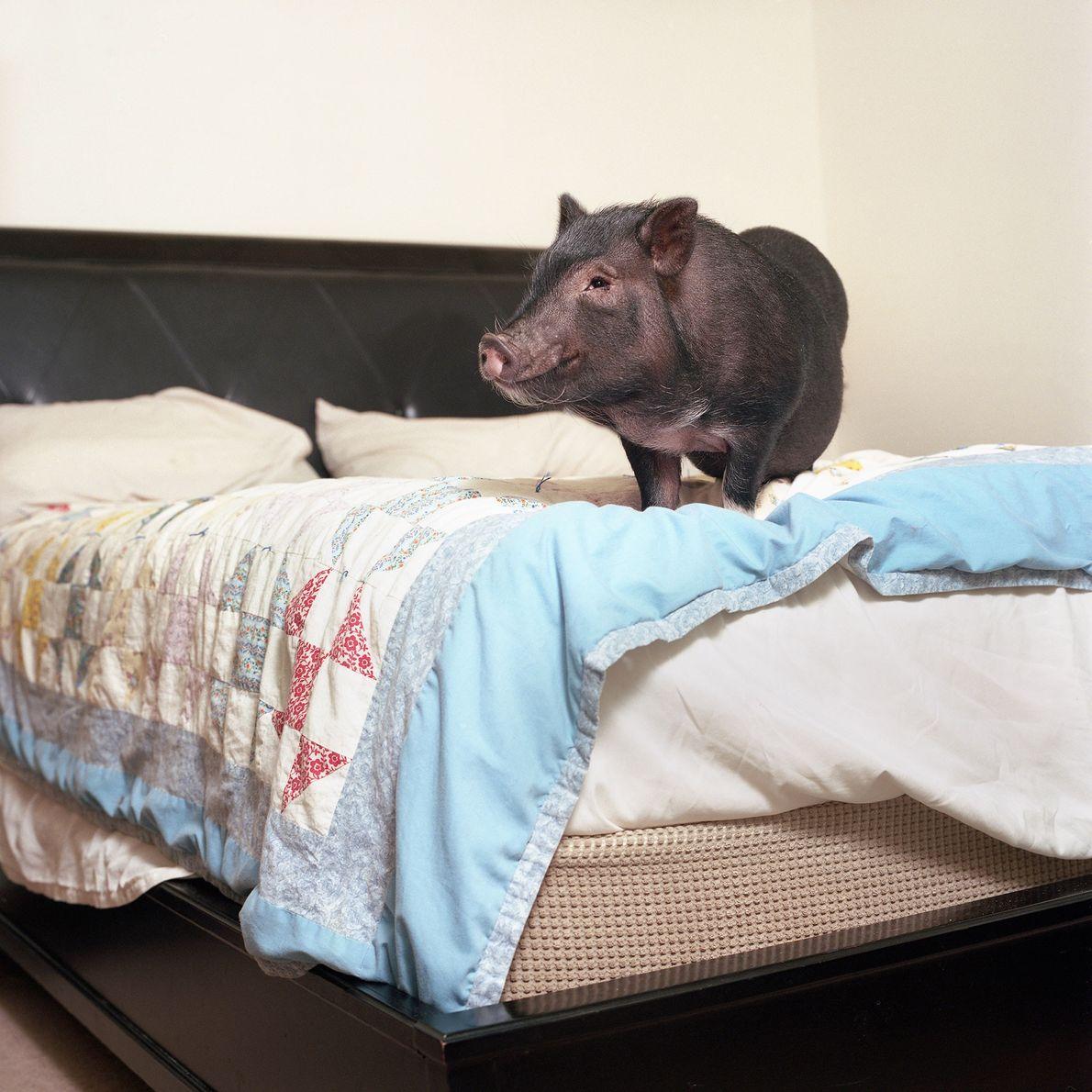 """Dozer das Hängebauchschwein verhält sich """"sehr wie ein Hund. Es hört auf Kommandos und zeigt seine ..."""