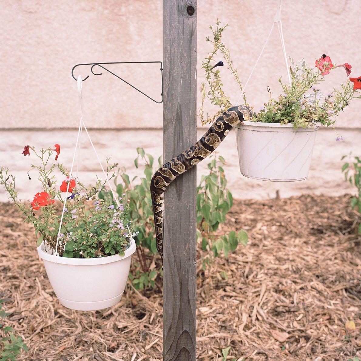 """Die Königspython Freckles schlängelt sich einen Blumenständer vor dem Haus hinauf. """"Ihre Besitzerin nimmt sie oft ..."""