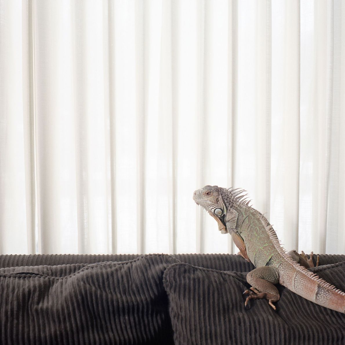 Ein Leguan namens Jade klettert auf der Familiencouch herum. Leguane sind tropische Echsen, die in Amerika ...