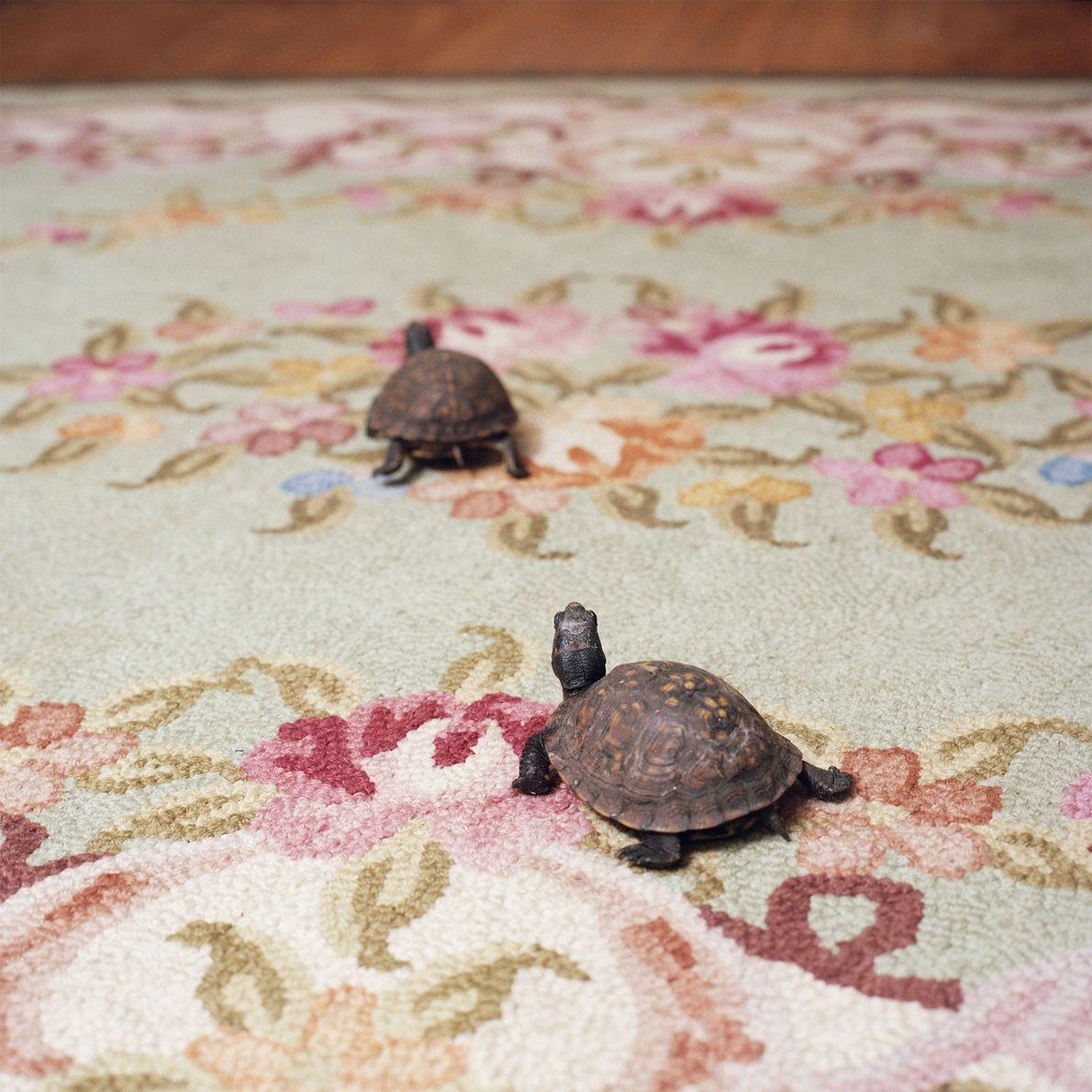 Diese beiden namenlosen Carolina-Dosenschildkröte leben den Sommer über in einem Außengehege und überwintern in Terrarien.