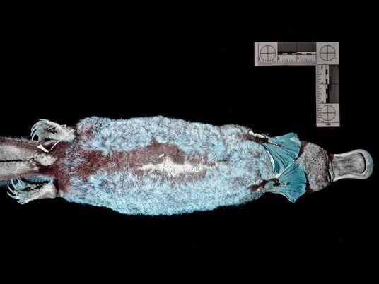 Schnabeltiere: Das erstaunliche Leuchten der eierlegenden Säugetiere