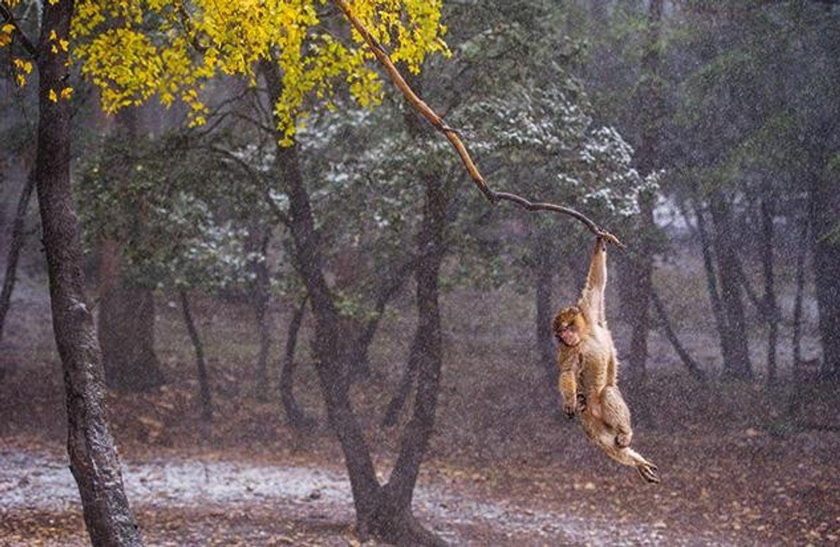 Am Ast eines Ahornbaums schaukelt ein verspielter Makak hin und her. Illegale Abholzung und Überweidung bedrohen …