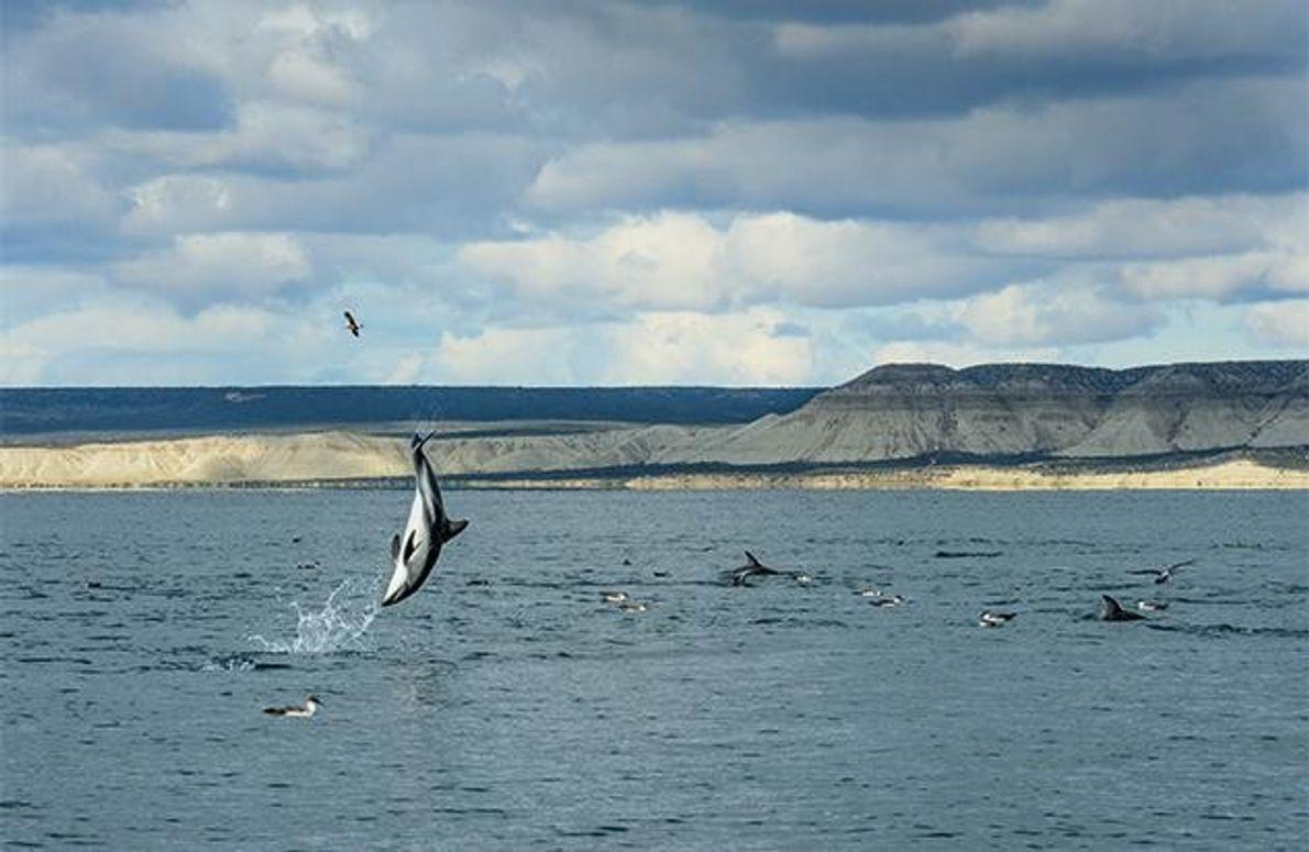 Delfine verständigen sich nicht nur mit Lauten, sondern auch durch Körpersprache. Der Salto, den dieser Schwarzdelfin …