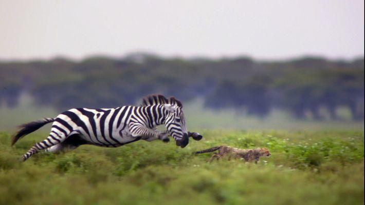 Geparden im Zebra-Sturm
