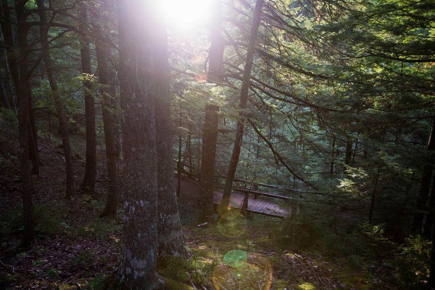 Sonnenlicht schimmert durch dicke Schierlingstannen im 125 Jahre alten Victoria-Park. Das über 400 Hektar große Gebiet ...