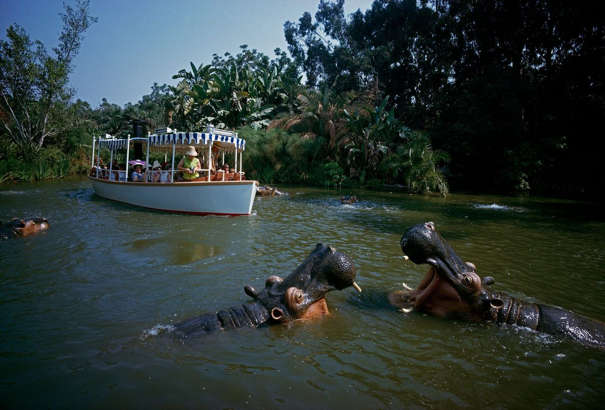"""Animatronik-Flusspferde tauchen vor einem Boot im """"Jungle Cruise"""" auf. Im Laufe der Jahre ist die Attraktion ..."""