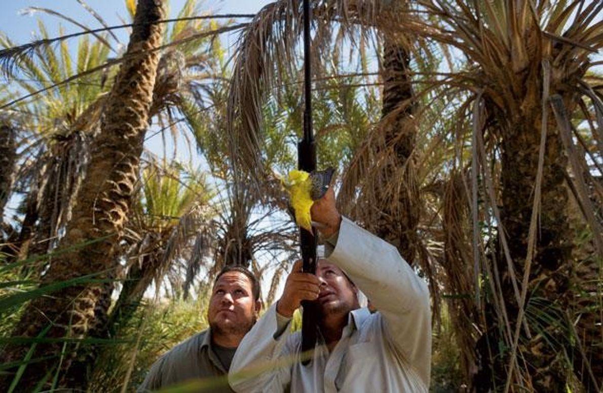 Vogeljagd in Ägypten
