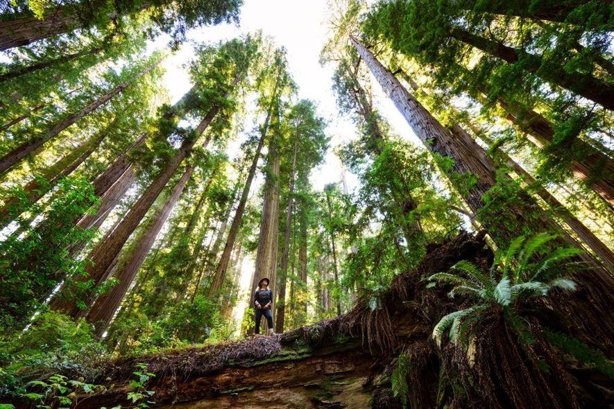 Cheatham Grove ist ein Waldstück mit uralten Mammutbäumen in der Nähe von Crescent City, Kalifornien, das ...