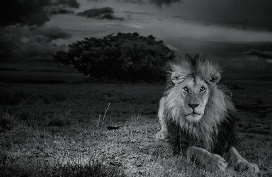 """Auch nachts bleibt """"C-Boy"""" wachsam, denn er weiß um das Gesetz der Savanne: Löwen töten Löwen."""