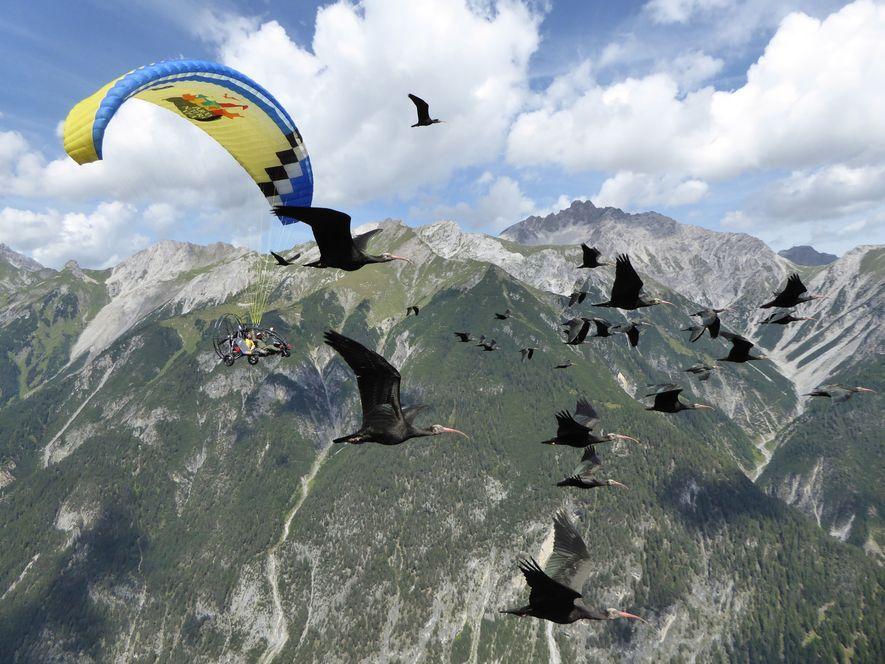 In einem Ultraleichtfluggerät mit Fallschirm dran begleiten Menschen die jungen Vögel in die Toskana.
