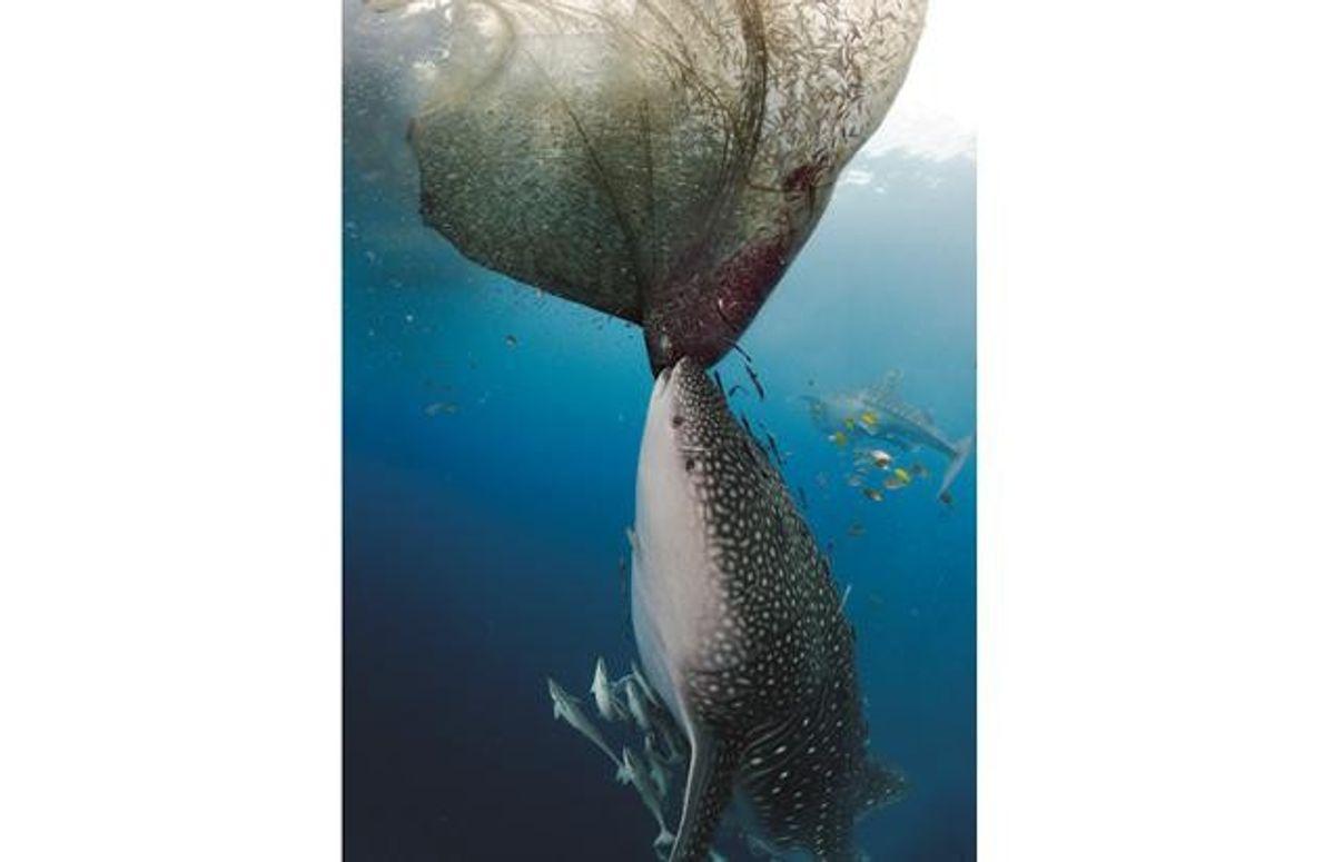 Walhai beim Fressen am Netz
