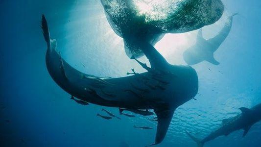 Galerie: Walhaie: Happen für die Haie