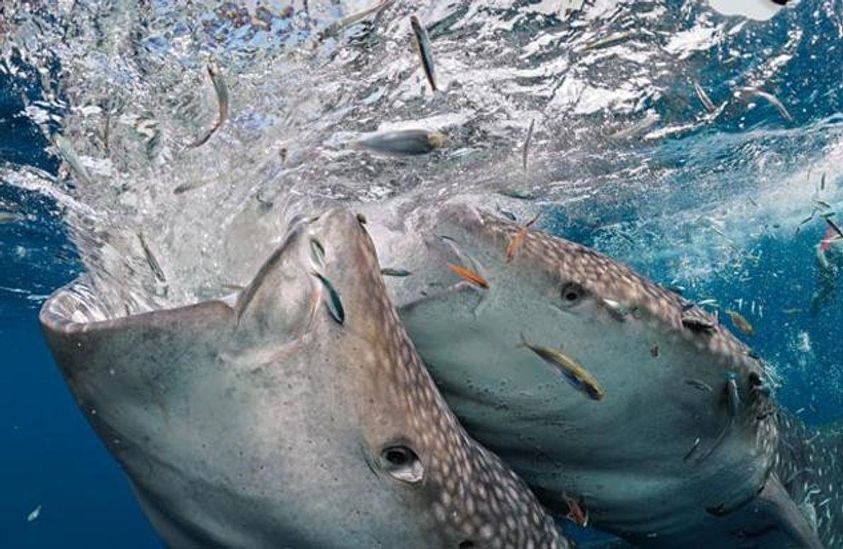 Zwei Walhaie rangeln um ins Wasser geworfene Köderfische – es sind zwei von rund zwanzig, die …