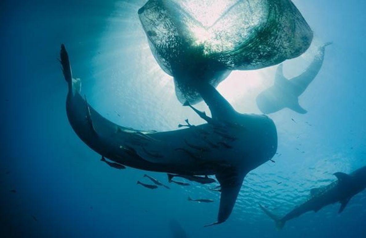 Ohne diese Fotos würde man es kaum glauben: Vor Neuguinea sammeln sich Walhaie bei den Netzen …