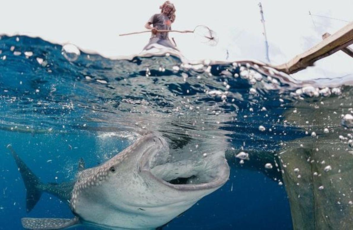 Die Männer werfen den Haien deswegen ein paar Köderfische zu – um sie von den Netzen …