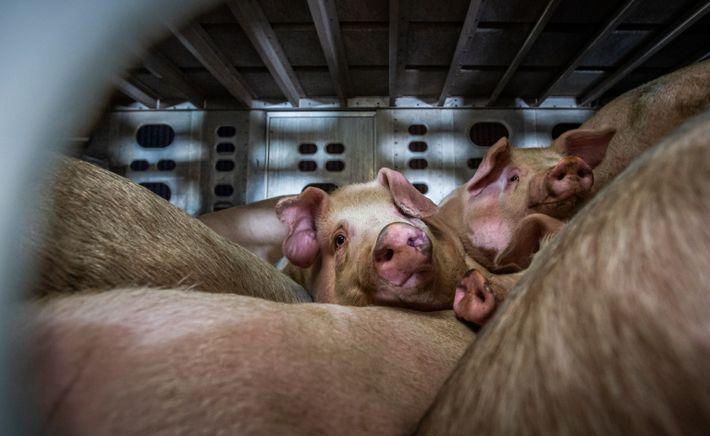 Schweine warten auf einem Laster in Los Angeles auf ihre Schlachtung.