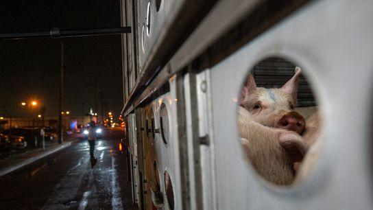 Schweine werden 2019 in einem Schlachtbetrieb in Los Angeles, Kalifornien angeliefert.