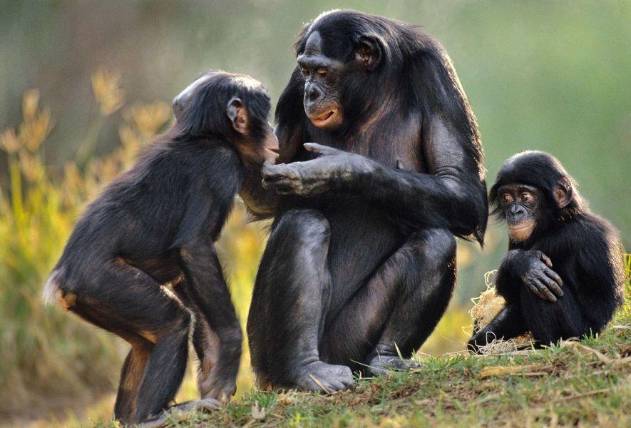 Ein Bonoboweibchen in der Demokratischen Republik Kongo teilt ihre Nahrung mit Jungtieren.