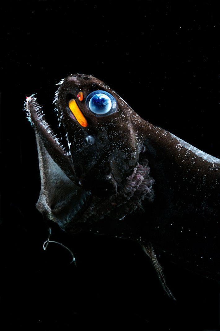 Drachenfisch mit blauen Augen und orangefarbenem Fleck