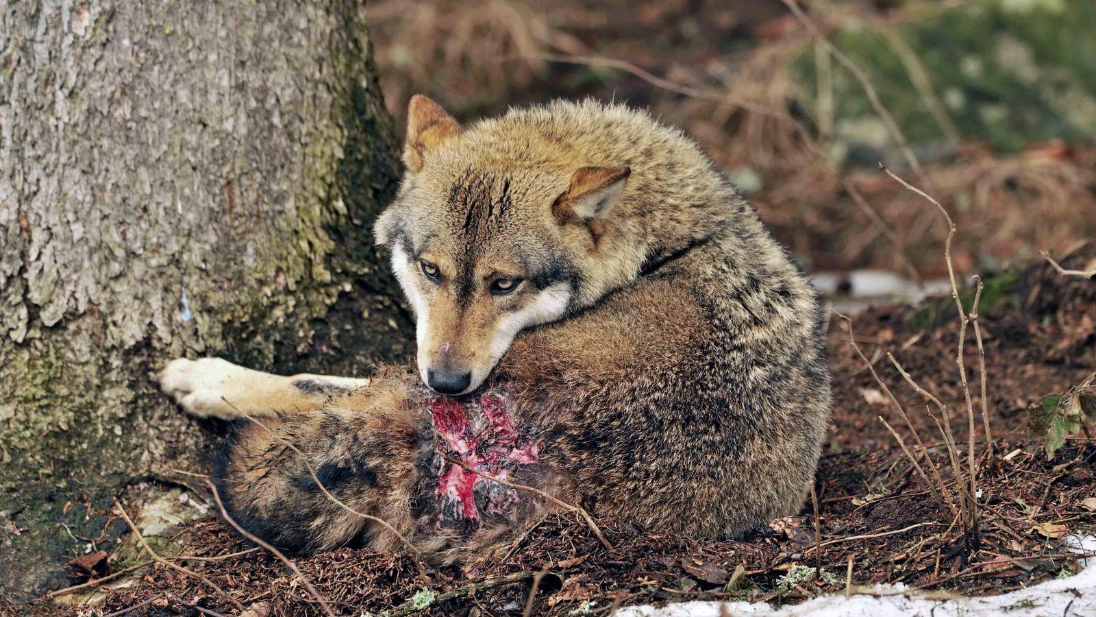 Im Bayerischen Wald leckt sich ein verwundeter Wolf nach einem Revierkampf seine Wunden.