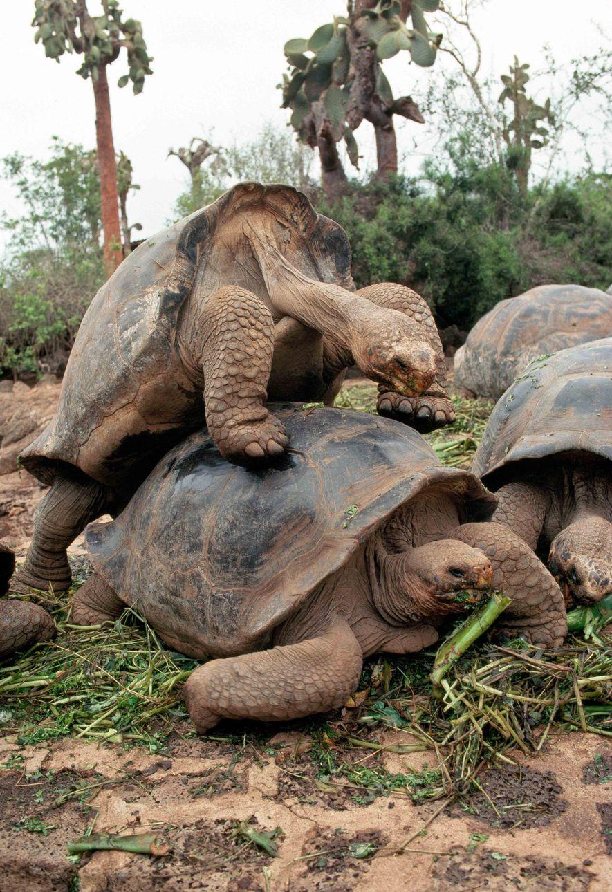 Riesenschildkröten paaren sich in der Charles Darwin Station.