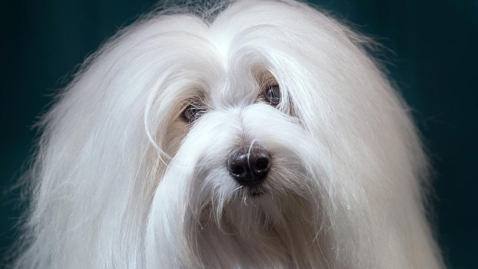 Weißer flauschiger Hund