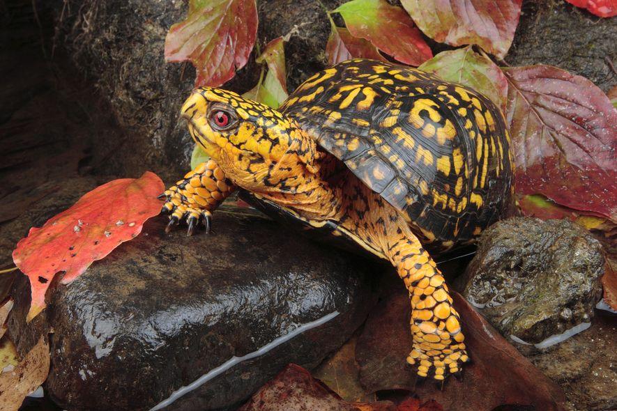 Eine Carolina-Dosenschildkröte läuft über Herbstlaub.
