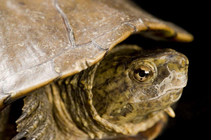 Eine Schildkröte der Art Kinosternon sonoriense longifemorale im Phoenix Zoo.