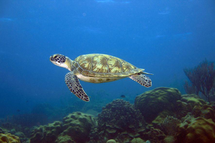 Eine Suppenschildkröte (Chelonia mydas) schwimmt über ein Riff in der südlichen Karibik. Die Art gilt als ...