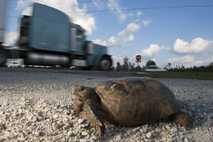 Eine Georgia-Gopherschildkröte am Straßenrand in Wiggins, Mississippi, USA. Die Art gilt als gefährdet.