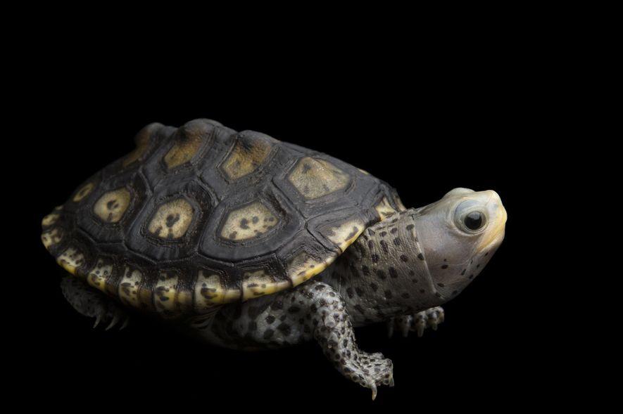 Eine junge Diamantschildkröte (Malaclemys terrapin macrospilota).