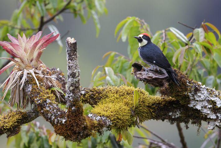 Ein Eichelspecht sitzt auf einem Ast in Costa Rica.