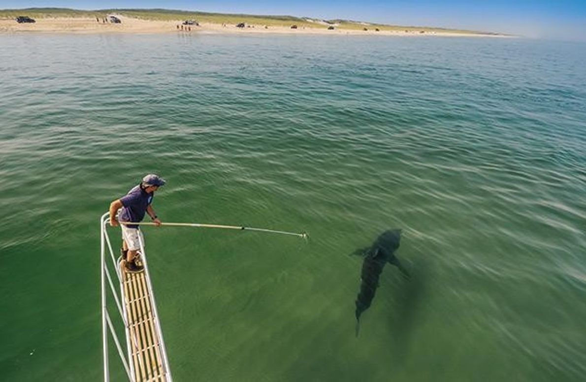 Weiße Haie vor Cape Cod