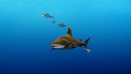 Hochsee-Weißflossenhai: Der letzte seiner Art?