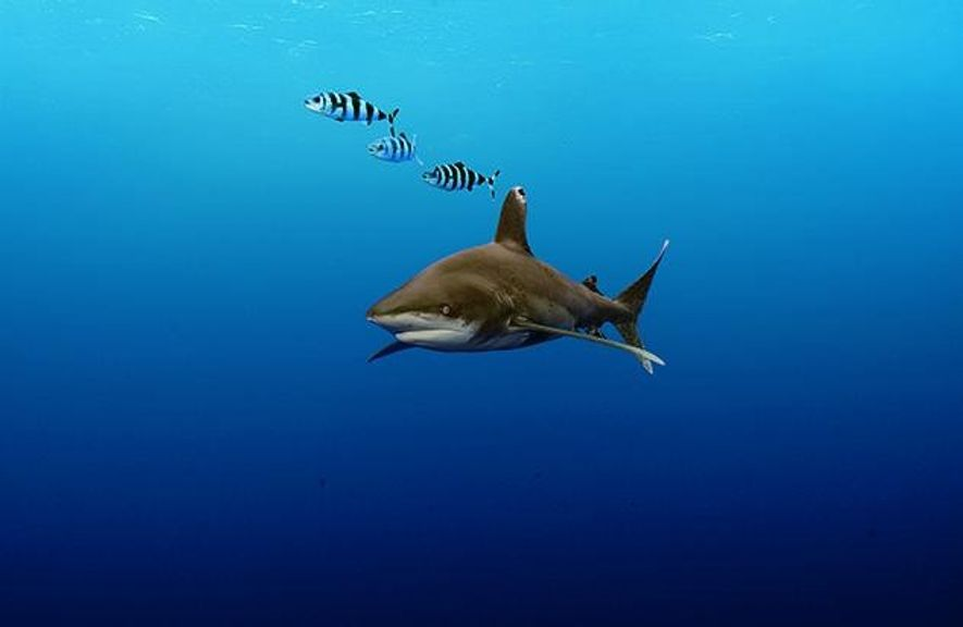 Ein Weißflossenhai und drei Lotsenfische schwimmen friedlich nebeneinander. Das Verhältnis zum Menschen ist weniger gut. Jacques ...