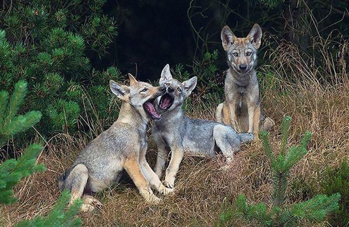 Diese kleinen Wolfswelpen sind etwa 8-10 Wochen alt. In diesem Alter unternehmen sie bereits kurze Exkursionen …
