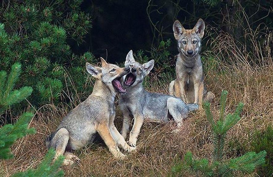 Diese kleinen Wolfswelpen sind etwa 8-10 Wochen alt. In diesem Alter unternehmen sie bereits kurze Exkursionen ...
