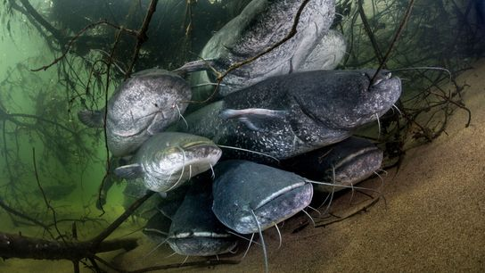 Flusswelse