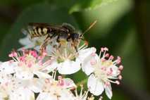 Wespenbiene beim Pollensammeln: Etwa die Hälfte der rund 550 in Deutschland lebenden Wildbienenarten ist bedroht.