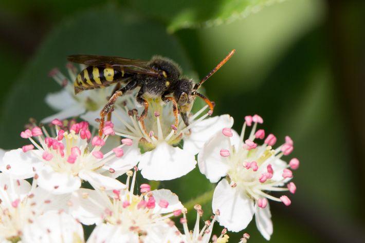 Wespenbiene beim Pollensammeln