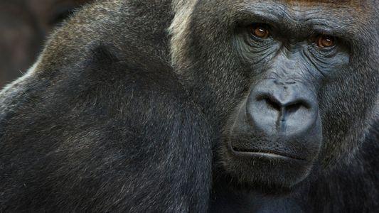 Erste COVID-Fälle bei Gorillas nachgewiesen