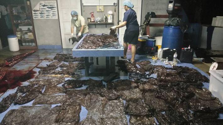 Grindwal verhungert mit Magen voll Plastik