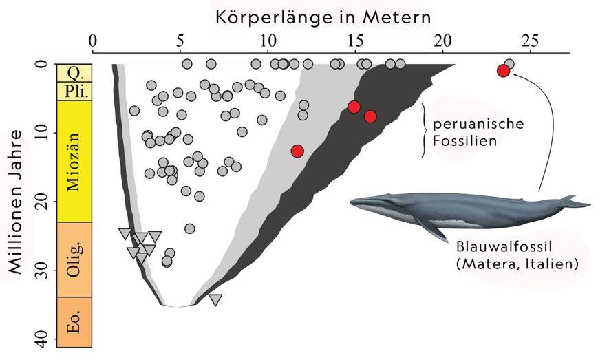 Diese Darstellung zeigt, wie sich die Körpergröße der Bartenwale im Laufe der Zeit verändert hat. Die ...