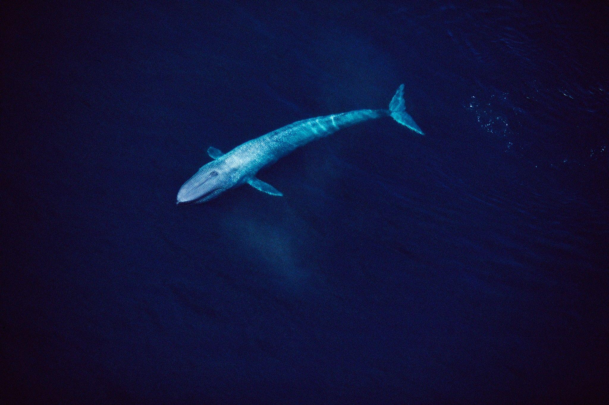 Größtes Blauwalfossil der Welt spaltet die Forschergemeinde