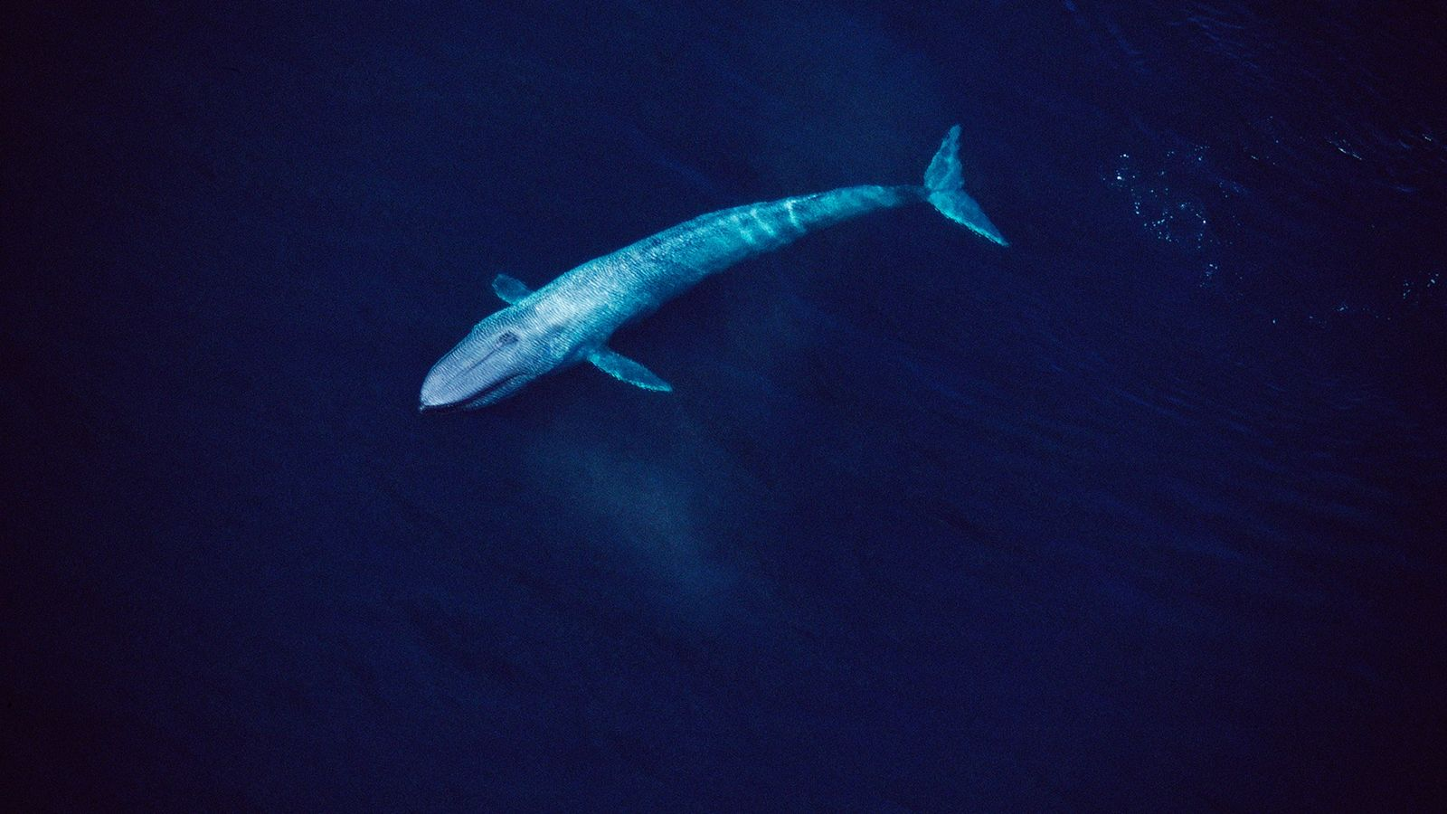 Eine Luftaufnahme zeigt einen etwa 24 Meter langen Blauwal im Meer von Kalifornien. Ein in Italien ...