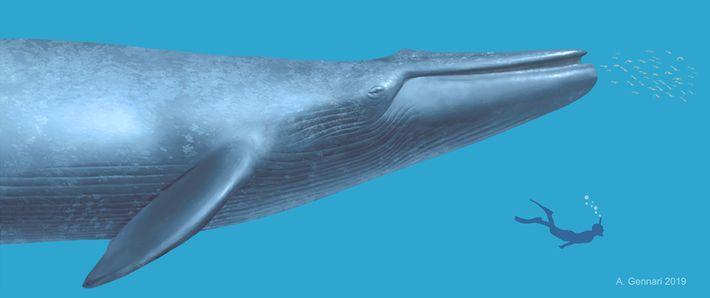 Eine Illustration zeigt das Größenverhältnis zwischen einem Menschen und dem prähistorischen Wal.