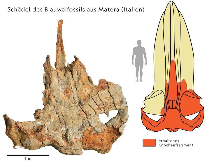 Das versteinerte Bruchstück des Wals von Matera (links) half Wissenschaftlern dabei, den gesamten Schädel des Tieres ...