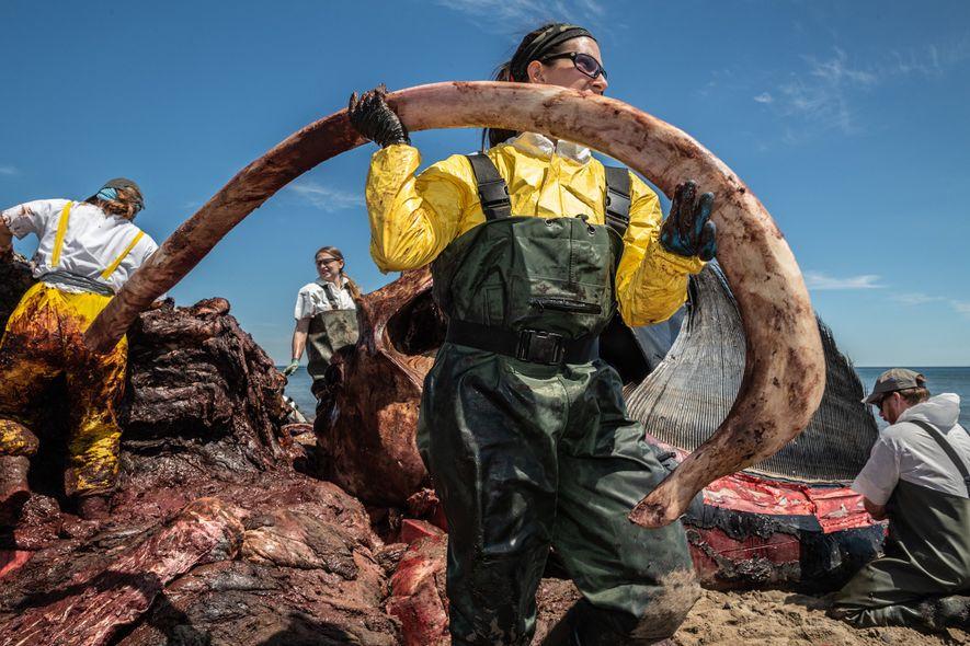 Ein Forscher entnimmt dem Körper des 9-jährigen Nordkaper Wolverine eine Rippe. Die Nekropsie des Wals sollte ...